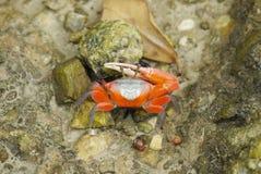 红色招潮蟹的画象 库存图片