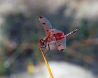 红色挂包男性蜻蜓 库存图片