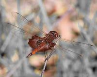 红色挂包蜻蜓 免版税库存图片