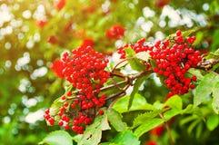 红色接骨木浆果夏天五颜六色的特写镜头视图  免版税库存照片