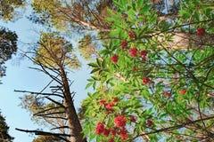 红色接骨木浆果或接骨木花racemosa在森林里 免版税库存照片