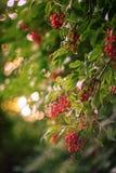 红色接骨木浆果(接骨木花racemosa)在灌木 库存照片