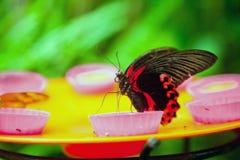 红色摩门教蝴蝶哺养 图库摄影