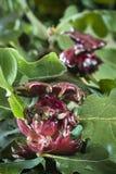 红色擦伤开发由保护的一个黄蜂幼虫 免版税库存图片