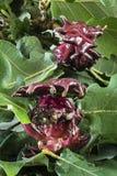 红色擦伤开发由保护的一个黄蜂幼虫 库存图片