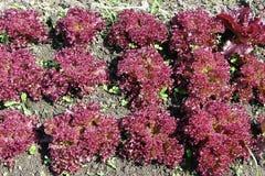 红色散叶莴苣的领域 库存图片