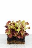 红色散叶莴苣 免版税库存图片
