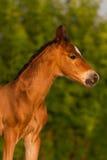 红色新出生的马驹 库存图片