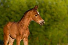 红色新出生的马驹 免版税库存照片