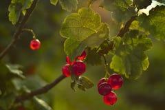 红色新无核小葡萄干分支 库存图片
