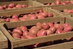 红色新近地被开掘的土豆 免版税图库摄影