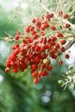 红色日期水果树 库存照片