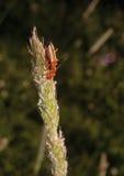 红色昆虫 库存照片