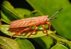 红色昆虫 免版税图库摄影