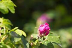 红色明亮的桃红色狂放的罗斯花臀部开花 免版税库存照片