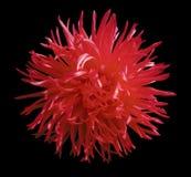 红色春天花翠菊,染黑与裁减路线的被隔绝的背景 特写镜头 库存图片