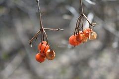 红色春天荚莲属的植物 免版税库存图片