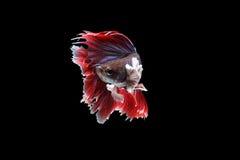红色暹罗战斗的Betta鱼 库存图片