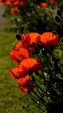 红色月亮庭院-对比早晨太阳 库存照片
