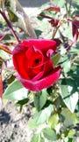 红色有叶子的玫瑰芽特写镜头  库存图片