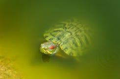 红色有耳的乌龟 库存图片