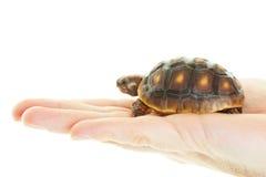 红色有脚的草龟在手中 库存图片