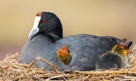 红色有节的老傻瓜坐与两只小鸡保护的巢 免版税库存照片
