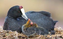 红色有节的老傻瓜坐与两只小鸡保护的巢 库存图片