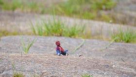 红色朝向的岩石蜥蜴 库存图片