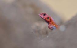 红色朝向的彩虹蜥蜴画象 库存照片