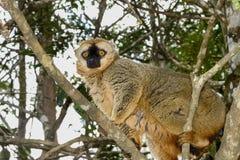 红色朝向的棕色狐猴,狐猴海岛, andasibe 库存图片