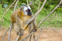 红色朝向的棕色狐猴,狐猴海岛, andasibe 免版税库存图片