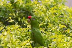 绯红色朝向的长尾小鹦鹉在哥斯达黎加 免版税库存图片