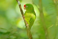 绯红色朝向的长尾小鹦鹉, Aratinga funschi,浅绿色的鹦鹉画象与红色头,哥斯达黎加的 安地斯山的鸟神鹰纵向 野生生物s 库存照片