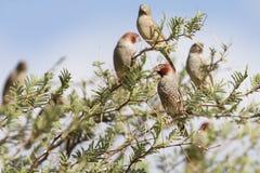 红色朝向的雀科群在卡拉哈里刺树和蓝色sk 库存图片