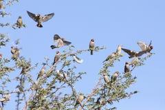 红色朝向的雀科群在卡拉哈里刺树和蓝色sk 免版税图库摄影