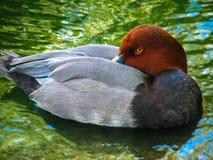 红色朝向的鸭子1 免版税库存图片