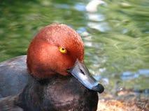 红色朝向的鸭子 免版税库存图片