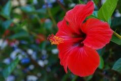 红色木槿。 图库摄影