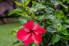 红色木槿在庭院里开花绽放 免版税图库摄影