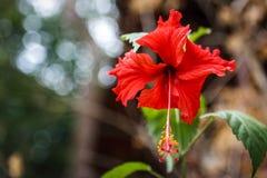 红色木槿开花与对背景的bokeh作用 射击在披披岛,泰国 库存照片