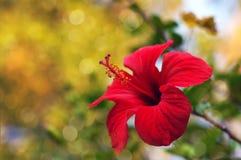 红色木槿开花和在明亮的背景的叶子 库存图片