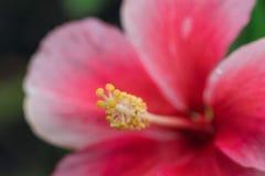 红色木槿开花在花粉的选择聚焦在绿色背景 免版税库存图片