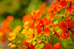 红色木槿开花在阳光下 免版税库存照片