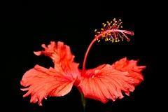 """红色木槿开花在黑背景的""""Hibiscus罗莎sinensis†宏观特写镜头照片 免版税库存照片"""