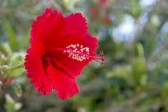 红色木槿开花显示被翻动的瓣和耻辱有雄芯花蕊的 库存照片