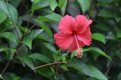 红色木槿或野生玫瑰花在灌木在被弄脏的绿色背景 库存图片