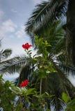 红色木槿花和棕榈 图库摄影