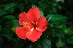 红色木槿花在庭院里 库存图片