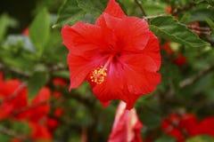 红色木槿花在热带庭院里 免版税库存照片